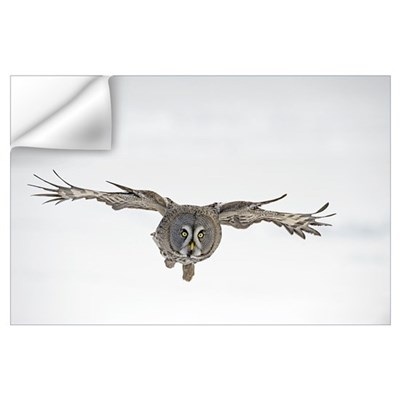 Great Grey Owl (Strix nebulosa) flying, Finland Wall Decal