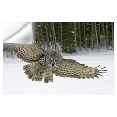 Great Grey Owl (Strix nebulosa), Finland Wall Decal