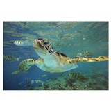 Green turtle Posters