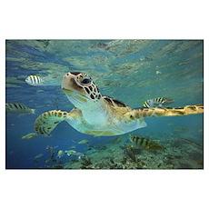 Green Sea Turtle (Chelonia mydas), Balicasag Islan Poster