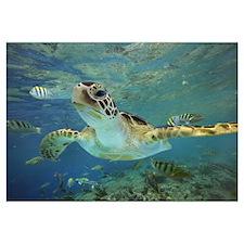 Green Sea Turtle (Chelonia mydas), Balicasag Islan