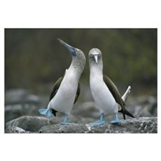 Blue-footed Booby pair performing courtship dance, Framed Print