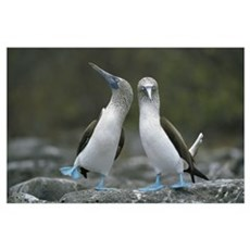 Blue-footed Booby pair performing courtship dance, Poster