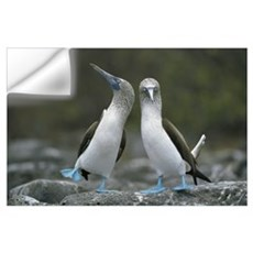 Blue-footed Booby pair performing courtship dance, Wall Decal
