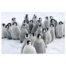Emperor Penguin chicks, Snow Hill Island, Antarcti Poster