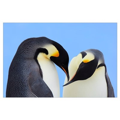 Emperor Penguin pair courting, Snow Hill Island, A Poster