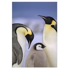 Emperor Penguin pair with chick, Atka Bay, Weddell Framed Print