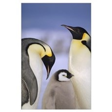 Emperor Penguin pair with chick, Atka Bay, Weddell Poster