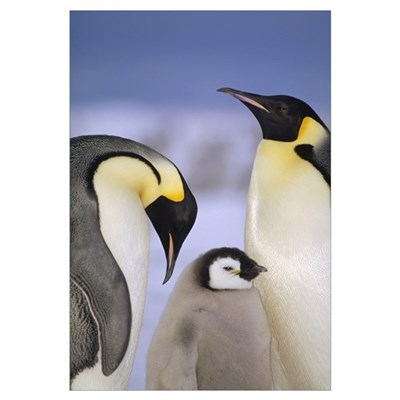 Emperor Penguin pair with chick, Atka Bay, Weddell Canvas Art