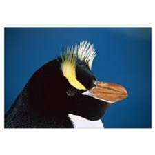 Erect-crested Penguin , restricted to Proclamation
