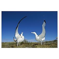 Gibson's Wandering Albatross courtship display, Ad Poster