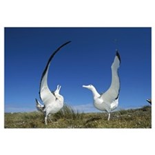 Gibson's Wandering Albatross courtship display, Ad