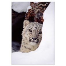 Snow Leopard (Uncia uncia) adult, looking out from Framed Print