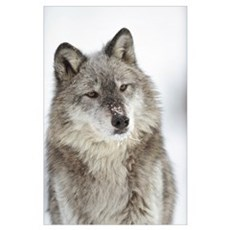 Timber Wolf (Canis lupus) portrait with snow on mu Poster