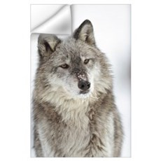 Timber Wolf (Canis lupus) portrait with snow on mu Wall Decal