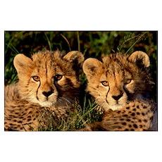 Cheetah (Acinonyx jubatus) two cubs, Masai Mara, K Poster
