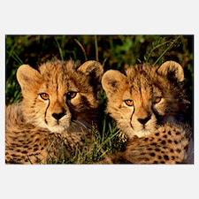 Cheetah (Acinonyx jubatus) two cubs, Masai Mara, K