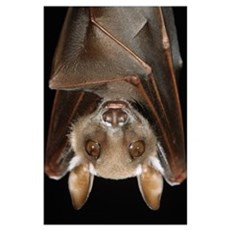 Buettikofer''s Epauletted Bat (Epomops buettikofer Poster