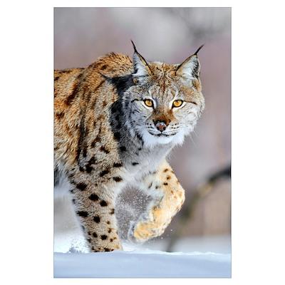 Eurasian Lynx (Lynx lynx) walking through the snow Poster