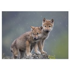 Gray Wolf (Canis lupus) pups in light snowfall, No Poster