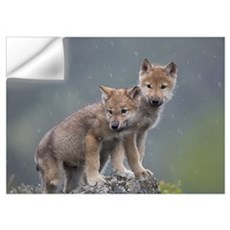 Gray Wolf (Canis lupus) pups in light snowfall, No Wall Decal