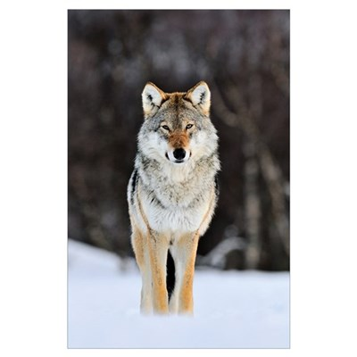 Gray Wolf (Canis lupus) standing in the snow, Norw Poster