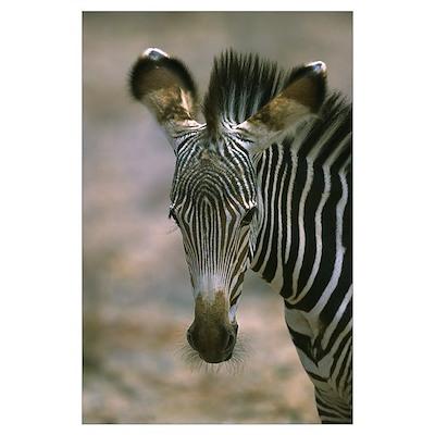 Grevy''s Zebra (Equus grevyi) foal, Kenya Poster