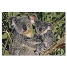 Koala mother with joey, eastern temperate Australi Poster