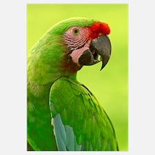 Military Macaw (Ara militaris) portrait, Amazon ra