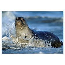 Northern Elephant Seal female in splashing surf, N