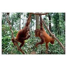Orangutan (Pongo pygmaeus) pair playing in trees, Poster