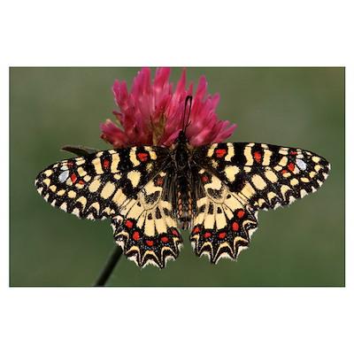 Spanish Festoon butterfly on flowering clover, Eur Poster