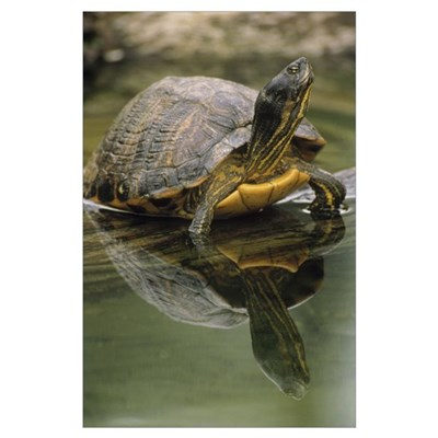 Yellow-bellied Slider turtle, portrait, in water, Poster