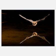 Big Brown Bat (Eptesicus fuscus) flying, Arizona