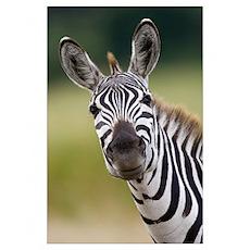 Burchell''s Zebra (Equus burchellii) portrait, Mas Poster