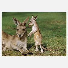 Eastern Grey Kangaroo (Macropus giganteus) mother