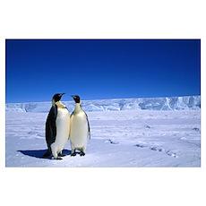 Emperor Penguin pair, Flutter EP Rookery, Antarcti Poster