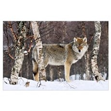Gray Wolf (Canis lupus) in the woods, winter, Norw Poster