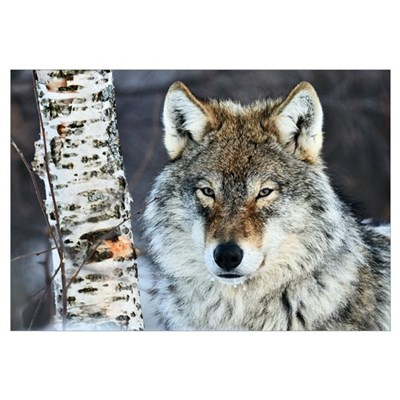 Gray Wolf (Canis lupus) portrait, Norway Canvas Art