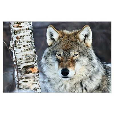 Gray Wolf (Canis lupus) portrait, Norway Poster