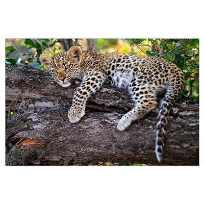 Leopard (Panthera pardus) cub resting in tree, Bot Poster
