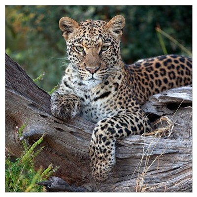 Leopard (Panthera pardus) resting, Botswana Framed Print