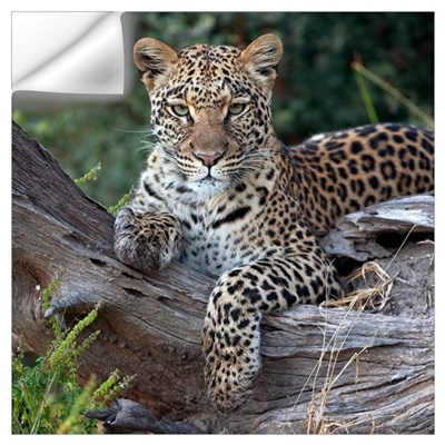 Leopard (Panthera pardus) resting, Botswana Wall Decal