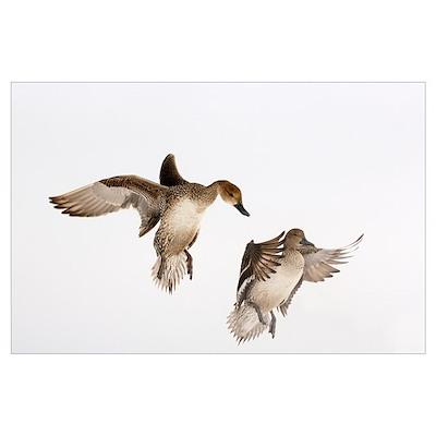 Northern Pintail (Anas acuta) pair landing, Hokkai Poster
