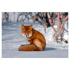 Red Fox (Vulpes vulpes) sitting on snow, Kamchatka