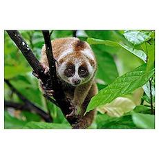 Slow Loris (Nycticebus coucang), northern Sumatra, Poster