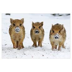 Three Wild Boar (Sus scrofa) piglets, Melle Lower, Poster