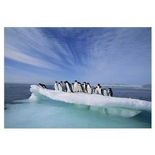 Adelie Penguingroup crowding on melting summer ice