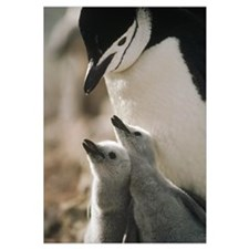 Chinstrap Penguin bowing over twin chicks Nelson I