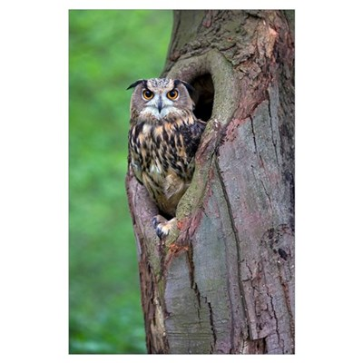 Eurasian Eagle-Owl looking out from a tree cavity, Poster